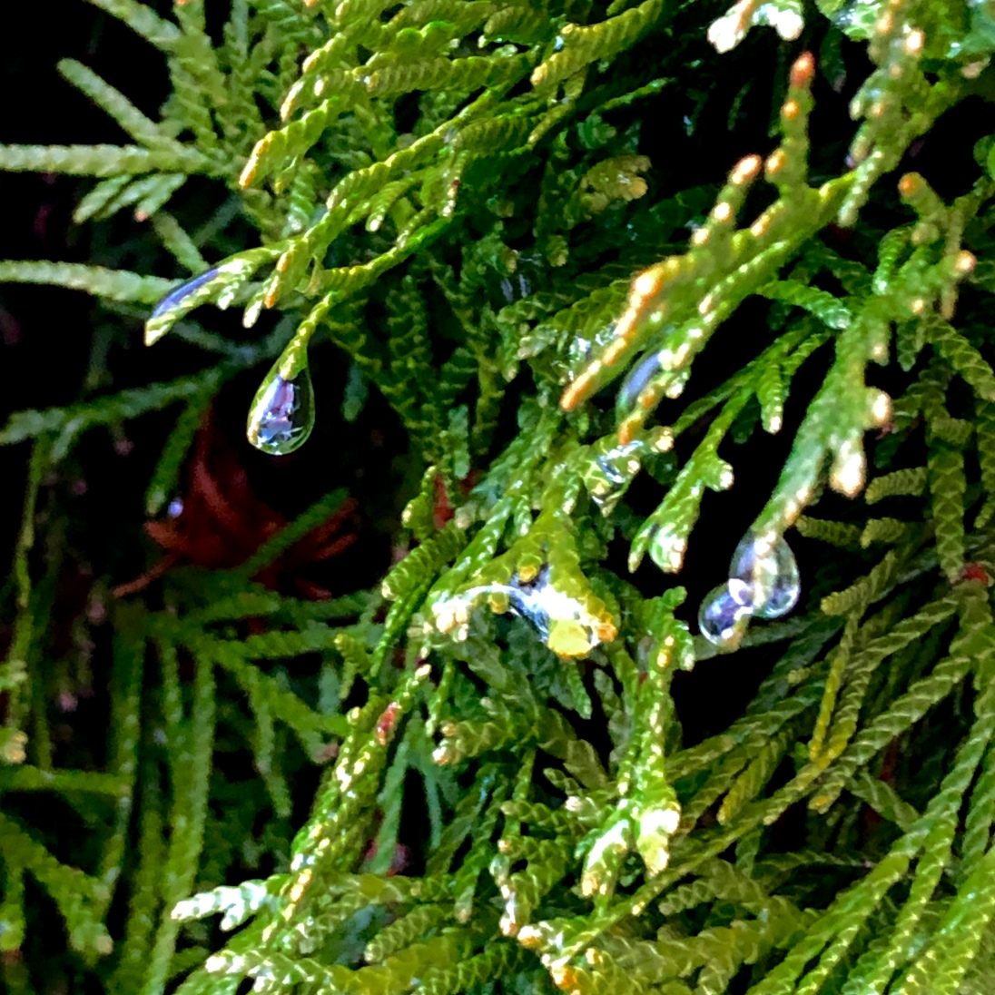 Raindrops dripping off a luscious green fern.