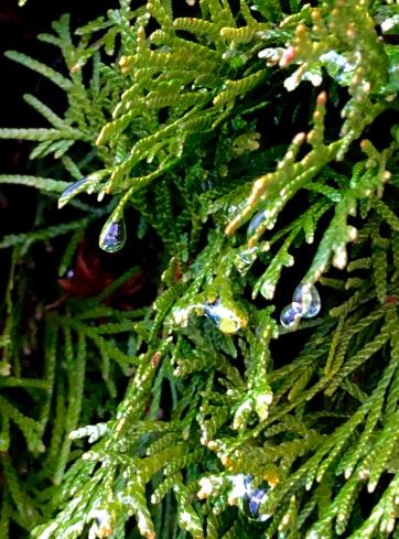 Raindrops dripping off a luscious green fern.