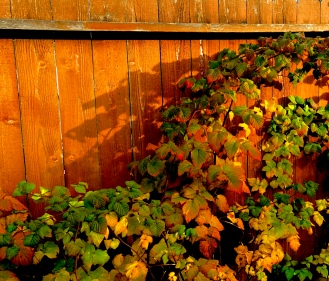 A beautiful shot of a blackberry bush with great lighting from the setting sun and a strong shadow cast behind. I love how vibrant the leaves are too.